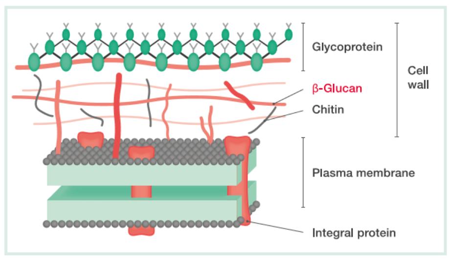 (1→3)-ß-D-Glucan measurement in invasive fungal infections